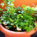 Osservazione delle erbe aromatiche